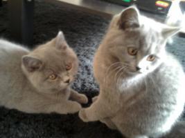 Foto 11 Glücks Sylvester Bkh Kitten