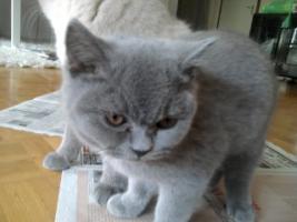 Foto 12 Glücks Sylvester Bkh Kitten