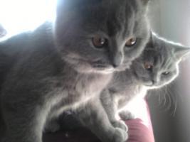 Foto 13 Glücks Sylvester Bkh Kitten