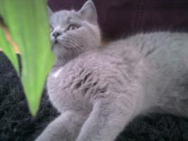 Foto 14 Glücks Sylvester Bkh Kitten