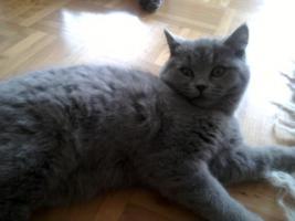 Foto 18 Glücks Sylvester Bkh Kitten