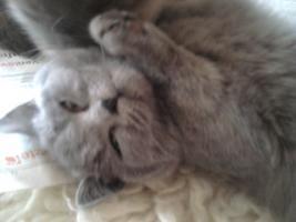 Foto 19 Glücks Sylvester Bkh Kitten