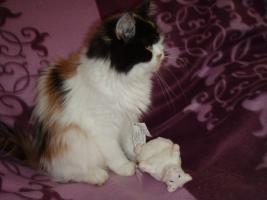Foto 2 Glückskätzchen mit langem Fell