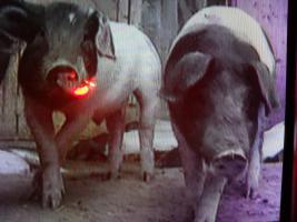 Glückwunsch an Sabine Duda von den Schweinefreunden .de  guter Fernsehbericht