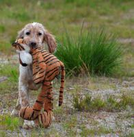 Goa English Setter Welpe H�ndin