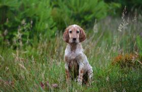 Foto 5 Goa English Setter Welpe H�ndin