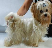 Golddust Yorkshire Terrier verkaufe Welpen mit Papiere