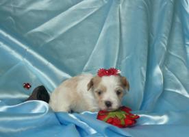 Foto 2 Golddust Yorkshire Terrier verkaufe Welpen mit Papiere