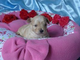 Foto 3 Golddust Yorkshire Terrier verkaufe Welpen mit Papiere
