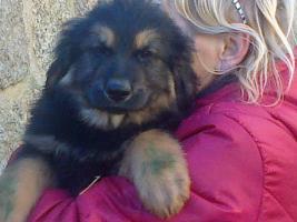 Golden Retriever/Altd.Sch�ferhund langhaar  Welpen