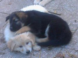 Foto 3 Golden Retriever/Altd.Sch�ferhund langhaar  Welpen