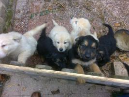 Foto 4 Golden Retriever/Altd.Sch�ferhund langhaar  Welpen