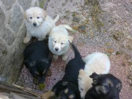 Foto 5 Golden Retriever/Altd.Sch�ferhund langhaar  Welpen