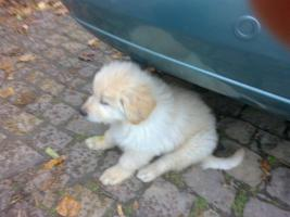Foto 6 Golden Retriever/Altd.Sch�ferhund langhaar  Welpen