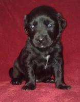 Golden Retriever/Labrador Welpen