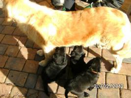 Foto 4 Golden Retriever-Labradorwelpen