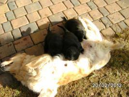 Foto 5 Golden Retriever-Labradorwelpen