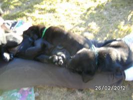 Foto 6 Golden Retriever-Labradorwelpen