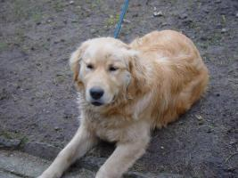 Foto 2 Golden Retriever Welpe