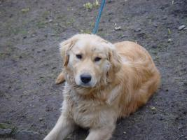 Foto 3 Golden Retriever Welpe