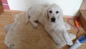Foto 4 Golden Retriever Welpe 4 Monate alt – TOP