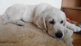 Foto 5 Golden Retriever Welpe 4 Monate alt – TOP