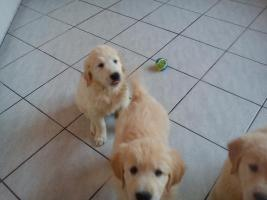 Foto 3 Golden Retriever Welpen