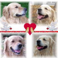 Golden Retriever Welpen