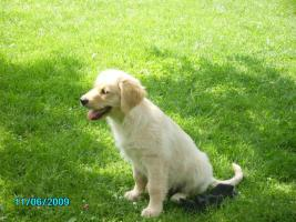 Foto 5 Golden Retriever Welpen