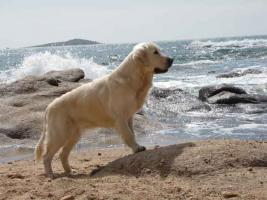 Foto 4 Golden Retriever Welpen