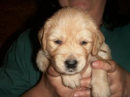 Foto 9 Golden Retriever Welpen