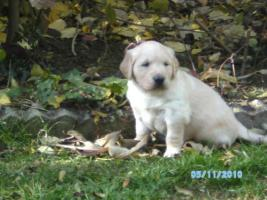 Foto 3 Golden Retriever Welpen