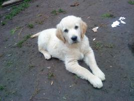 Golden-Retriever Welpen