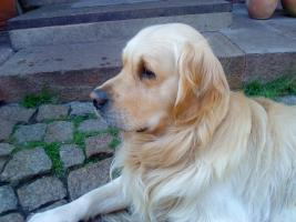 Foto 2 Golden-Retriever Welpen