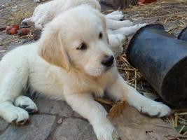 Foto 3 Golden-Retriever Welpen