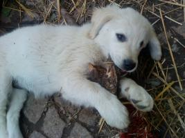 Foto 4 Golden-Retriever Welpen