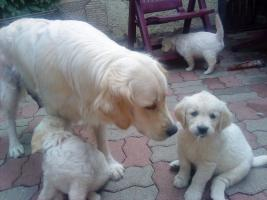Foto 7 Golden-Retriever Welpen