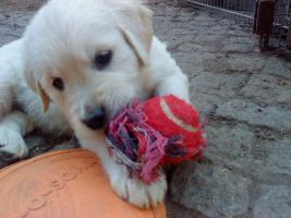 Foto 8 Golden-Retriever Welpen