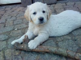 Foto 9 Golden-Retriever Welpen