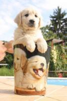 Foto 3 Golden Retriever Welpen mit Stammbaum !
