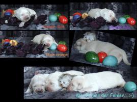 Golden Retriever Welpen geboren 30.3.2012 1 weiße Hündin noch frei