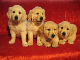 Foto 6 Golden Retriever Welpen aus gewissenhafter Hobbyzucht