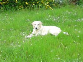 Foto 5 Golden Retriever ca. 1 1/2 Jahre alt