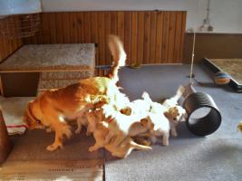 Foto 5 Golden Retriever aus liebevoller Hobbyzucht