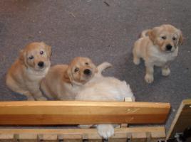 Foto 7 Golden Retriever aus liebevoller Hobbyzucht