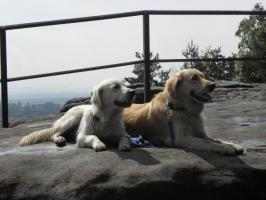 Foto 6 Golden Retriever welpen