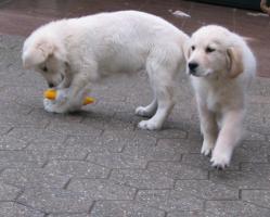 Foto 8 Golden Retriever - 2 Jungs. Mehr auf www.golden-retriever-elmpt.de