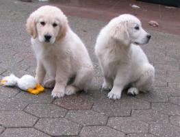 Foto 9 Golden Retriever - 2 Jungs. Mehr auf www.golden-retriever-elmpt.de