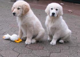 Foto 10 Golden Retriever - 2 Jungs. Mehr auf www.golden-retriever-elmpt.de