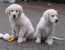 Foto 11 Golden Retriever - 2 Jungs. Mehr auf www.golden-retriever-elmpt.de